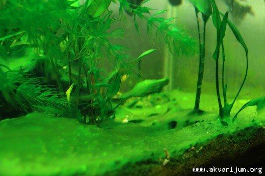 black hairy moss aquariums